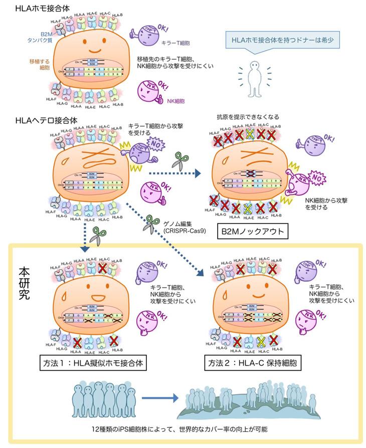 ゲノム編集技術を用いて拒絶反応のリスクが少ないiPS細胞を作製 ...