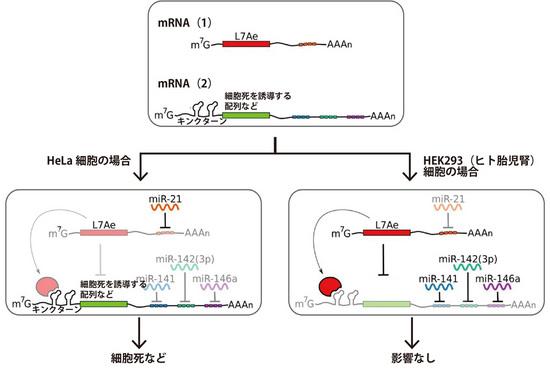 NB_RNA_03.jpg