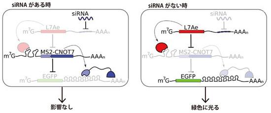 NB_RNA_04.jpg
